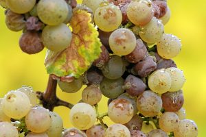 Botrytis cinerea on Riesling grapes