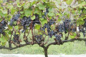 Winemaking Strategies for Rainy Vintages: Remembering 2011 and Preparing for 2018